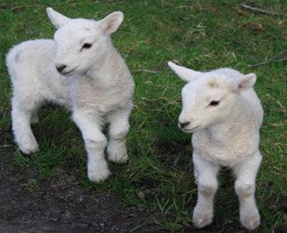 Male Sheep Names