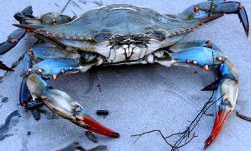 Blue Crab Names