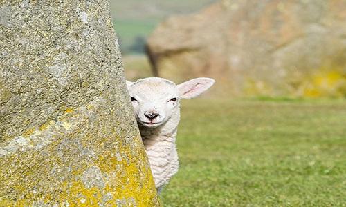 Famous Sheep Names