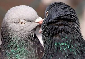 facts-about-rock-pigeons